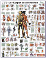 """Grossposter """"Körper des Menschen"""""""