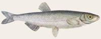 Laube, Ukelei - Alburnus alburnus