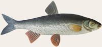 Döbel, Aitel - Leuciscus cephalus