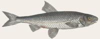 Hasel - Leuciscus leuciscus
