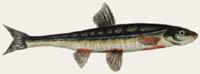 Elritze - Phoxinus phoxinus