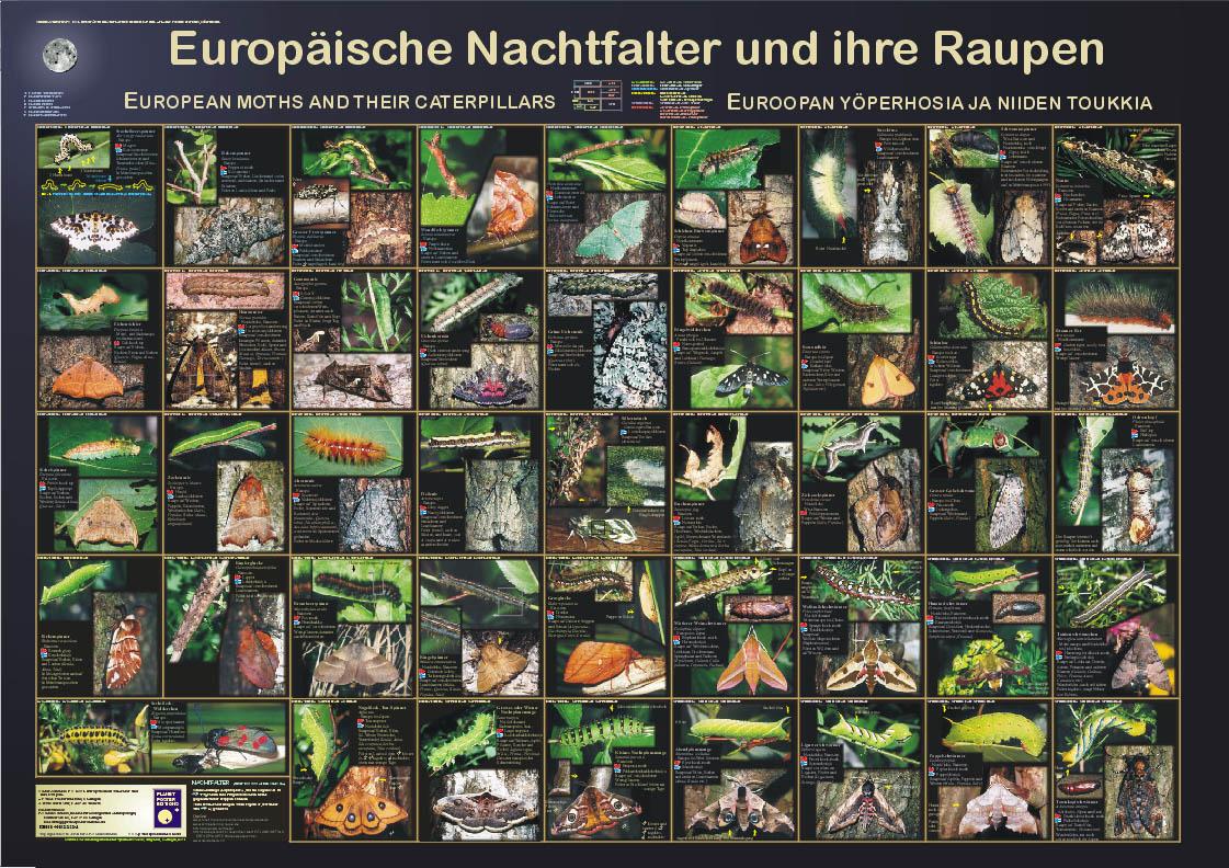 """Poster """"Europäische Nachtfalter und ihre Raupen"""""""
