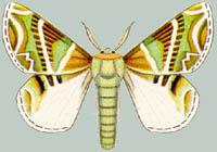 Альбом пользователя ЕкатеринаКостинская: Африканская бабочка Ceratopacha Koellikeri. Коллекция 63 бабочки мира