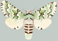 Альбом пользователя ЕкатеринаКостинская: Cerura esmeralda. Коллекция 63 бабочки мира
