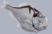 Argyropelecus affinis Silberpfeil