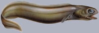 Coloconger raniceps Froghead eel