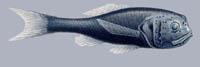 Melamphaes suborbitalis Ridgehead