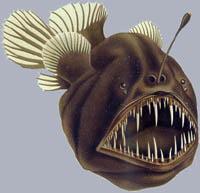 Melanocetus johnsoni Buckliger Anglerfisch