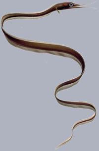 Nemichthys scolopaceus Schlanker Schnepfenaal