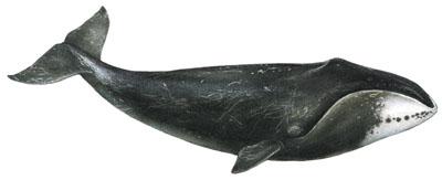 Gr�nlandwal (Balaena mysticetus) Bowhead whale