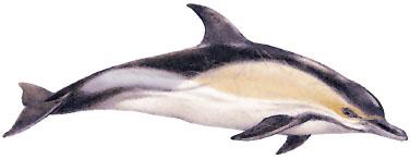 Gew�hnlicher Delfin (Delphinus delphis) Common dolphin