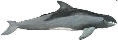 Zwerggrindwal (Feresa attenuata) Pygmy killer whale