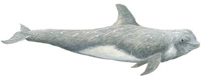 Rundkopfdelfin (Grampus griseus) Risso's dolphin