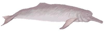 Amazonas-Flussdelfin (Inia geoffrensis) Boto
