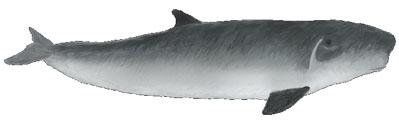 Zwergpottwal (Kogia breviceps) Pygmy sperm whale