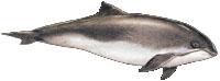 Gew�hnlicher Schweinswal (Phocoena phocoena) Harbour porpoise