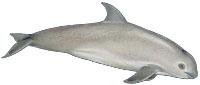 Kalifornischer Schweinswal (Phocoena sinus) Vaquita
