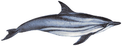Blau-Weisser Delfin (Stenella coeruleoalba) Striped dolphin