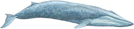 Blauwal (Balaenoptera musculus)