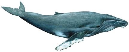 Buckelwal (Megaptera novaeangliae) Humpback whale