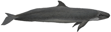 Kleiner Schwertwal (Pseudorca crassidens) False killer whale