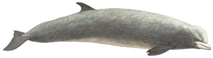 N�rdlicher Entenwal ( Hyperoodon ampullatus) Northern bottlenose whale