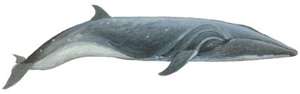 Seiwal (Balaenoptera borealis) Sei whale