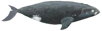 S�dlicher Glattwal (S�dkaper) (Eubalaena australis) Southern right whale