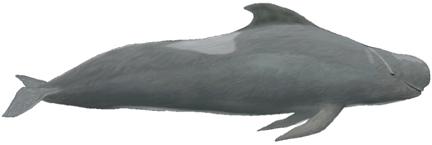 Indischer Grindwal (Globicephala macrorhynchus)
