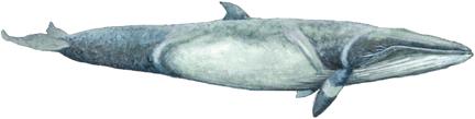 N�rdlicher Zwergwal, Minkewal (Balaenoptera acutorostrata) Common minke whale