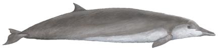 Shepherd-Wal (Tasmacetus shepherdi)